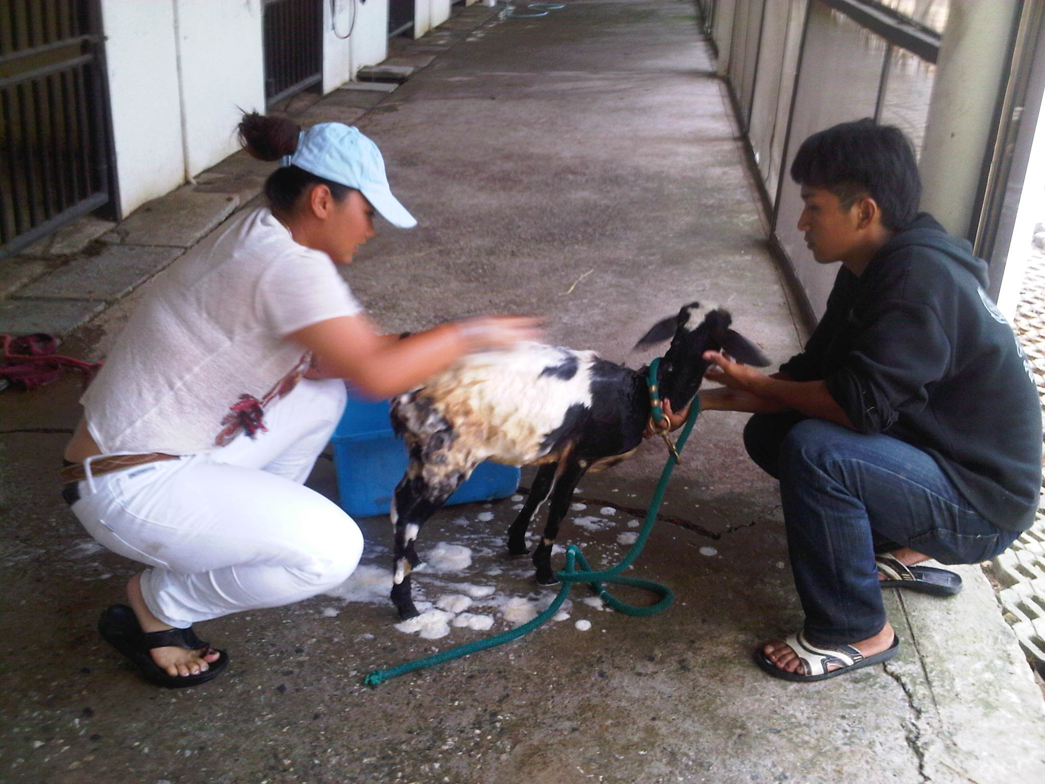 Khun Ploy washing the goat before it to be eaten